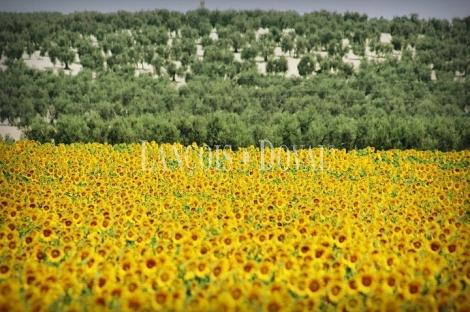 Sevilla. Gran finca agrícola y ganadera en venta con cortijo.