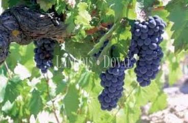 Jerez de La Frontera. Cádiz. Bodegas y viñedos en venta.